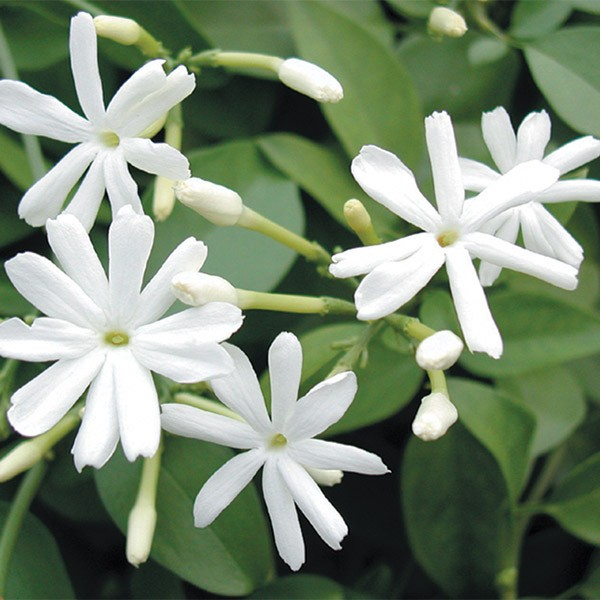 Jasmine Azoricum