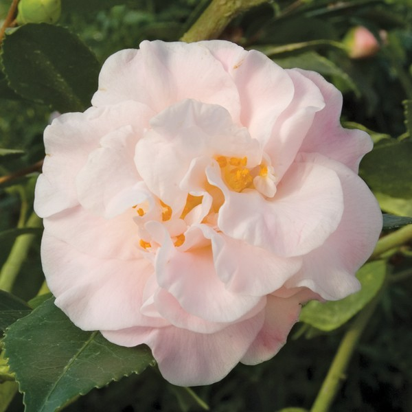 Camellia 'High Fragrance