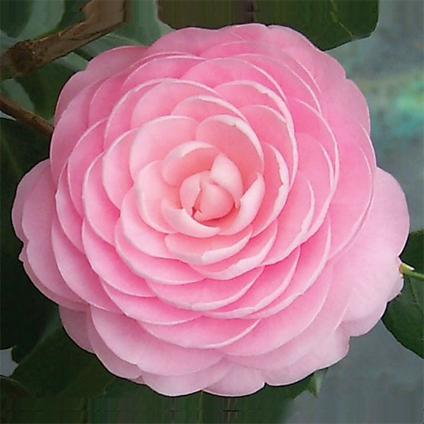 Camellia 'Pink Perfection' (Camellia japonica hybrid)