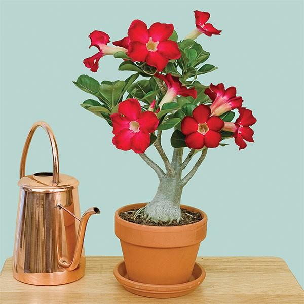 Desert Rose 'Red' (Adenium obesum)