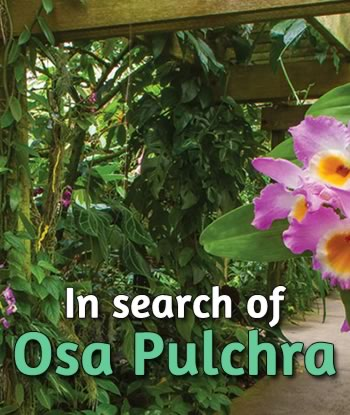 In-search-of-Osa-pulchra