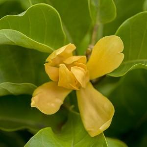 Joy Perfume Tree