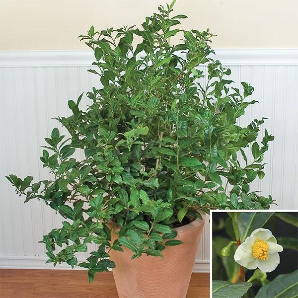 Tea (Camellia sinensis)