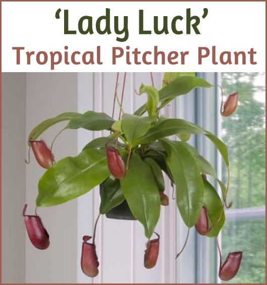 Tropical Pitcher Plant 'Lady Luck' (Nepenthes hybrid)