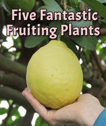 5-fantastic-fruiting-plants-logees