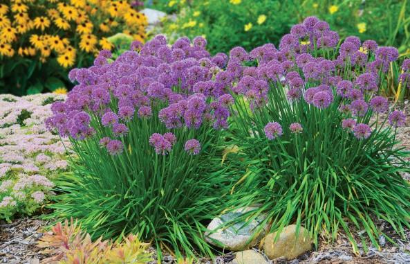 Allium 'Millenium' (Allium hybrid)