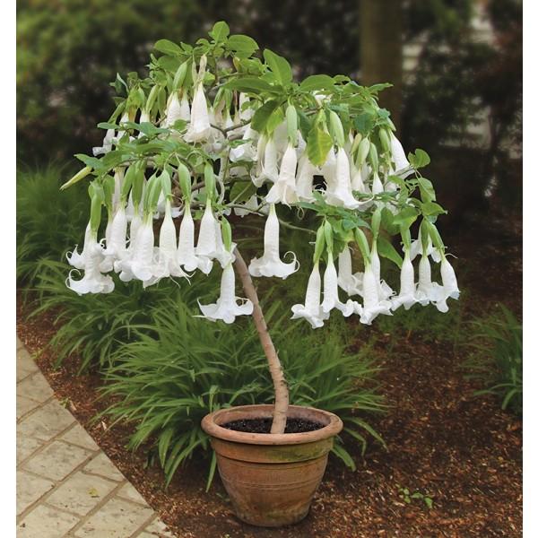 Angel's Trumpet 'White Cascade' (Brugmansia hybrid)