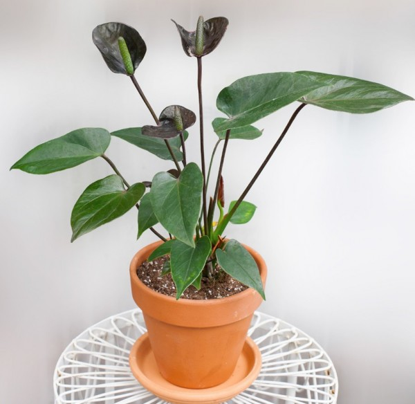 Anthurium 'Black Love' (Anthurium hybrid)