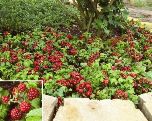 Arctic Raspberries 'Beta' and 'Sophia' (Rubus arcticus x stellarcticus)