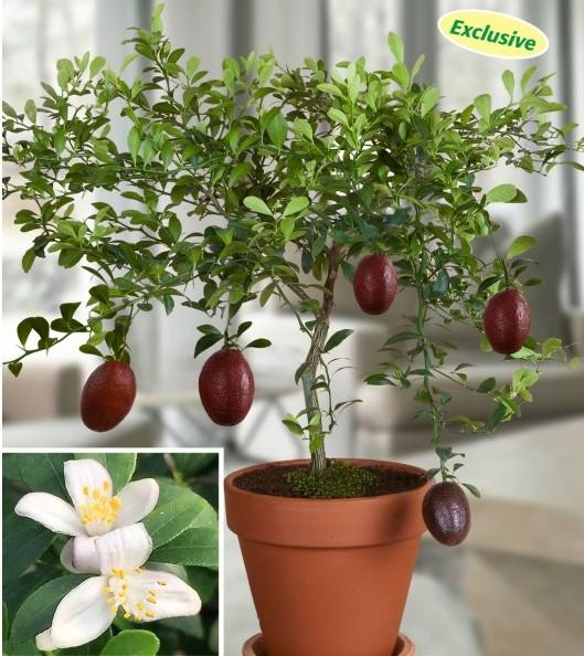 Australian Red Lime (Citrus australasica hybrid)