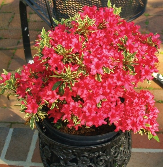 Azalea 'Bollywood' (Rhododendron hybrid)