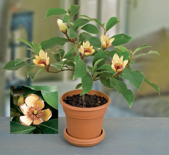 Banana Shrub (Michelia figo)