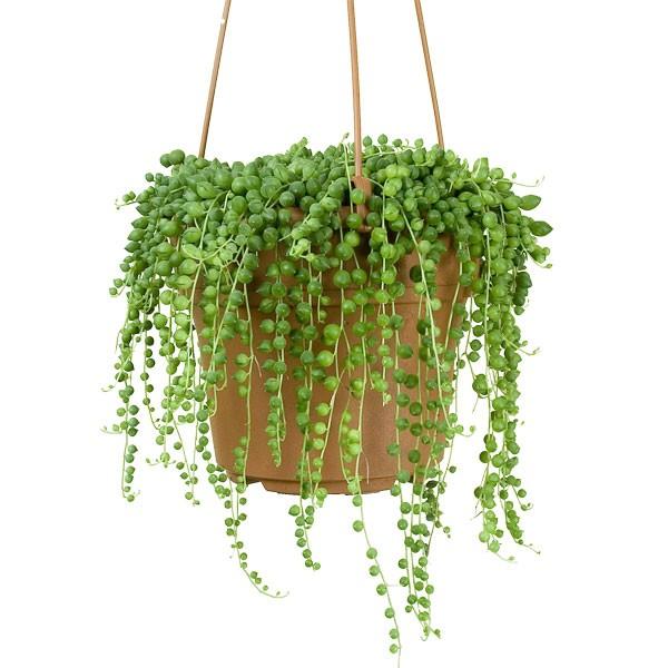 Bead Plant (Senecio rowleyanus) succulent