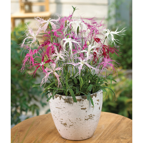 Bearded Dianthus (Dianthus hybrid)
