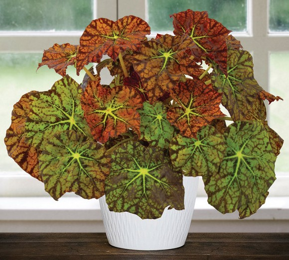 Begonia 'Amelia's Kaleidoscope' (Begonia rhizomatous hybrid)