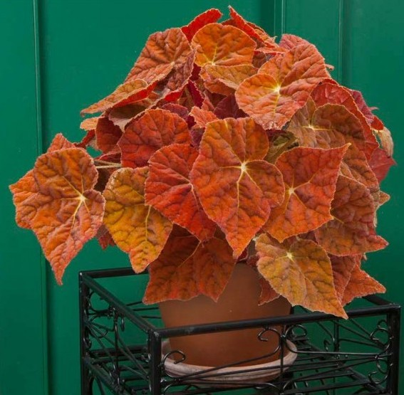 Begonia 'Autumn Ember' p.p.a.f. (Begonia rhizomatous hybrid)