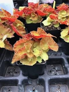 Begonia-Martha-Stewart-MMZ