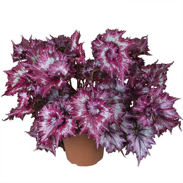 Begonia 'Tie Dye' (Begonia rex hybrid)
