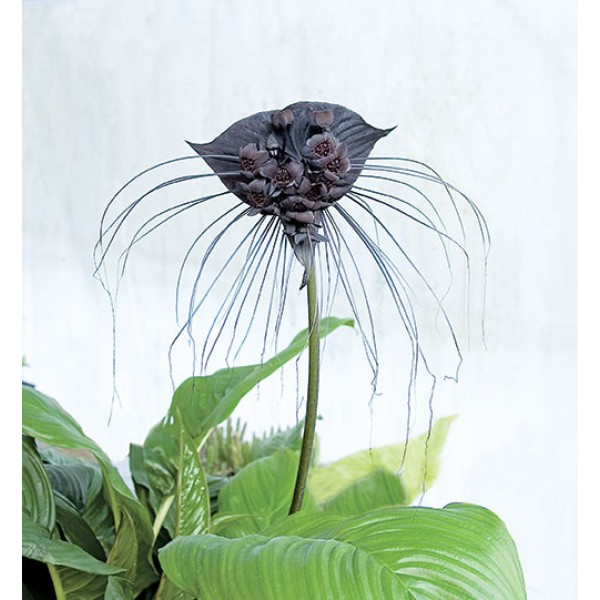 Black Bat Flower (Tacca chantrieri)