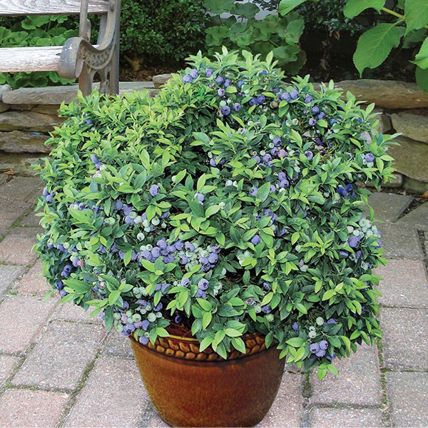 Blueberry 'Top Hat' (Vaccinium angustifolium)