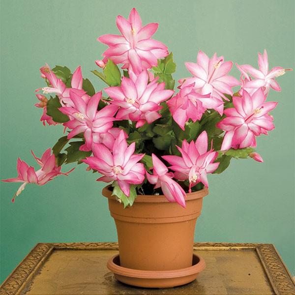 Christmas Cactus 'Cristen' (Schlumbergera hybrid)