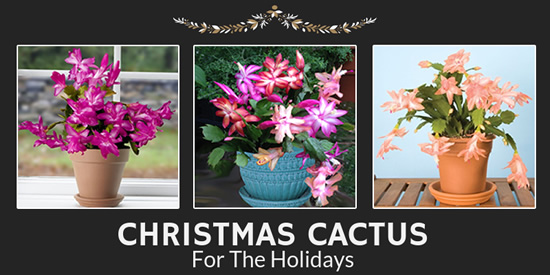 Christmas Cactus for the Holidays