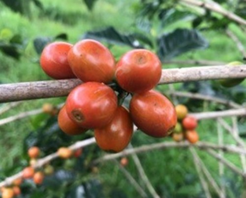 Coffee 'Orange Bourbon' (Coffea arabica Bourbon)