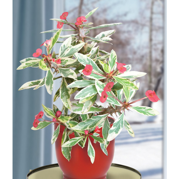 Crown of Thorns 'Peppermint Candy' (Euphorbia milii)