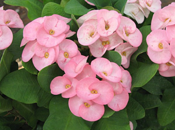 Crown of Thorns 'Pink Princess' (Euphorbia milii hybrid)