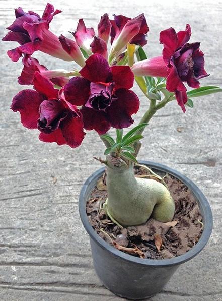 Desert Rose 'Black Window'