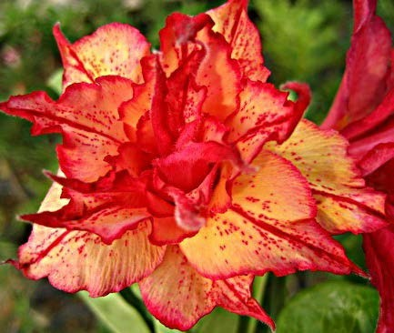 Desert Rose 'Golden Carrot'
