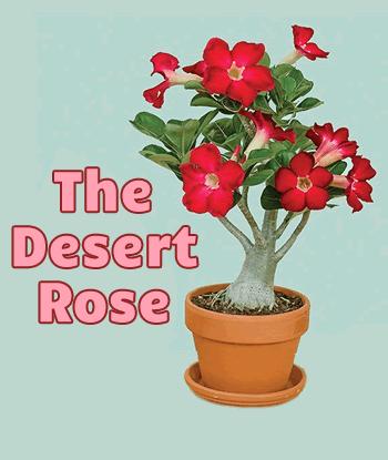 Desert-Rose-Logees