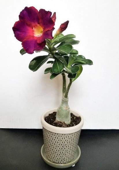 Desert Rose 'Plum Beauty' (Adenium obesum)