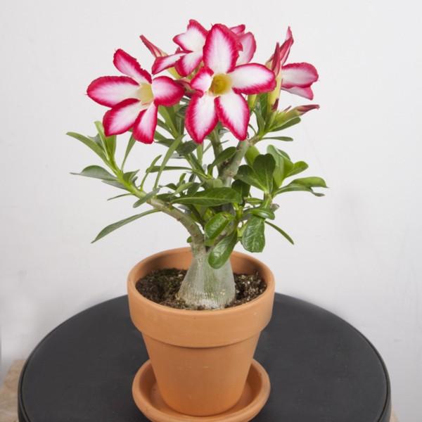 Desert Rose 'Red Picotee' (Adenium obesum)