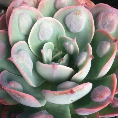 Echeveria 'Raindrops' (Echeveria hybrid)