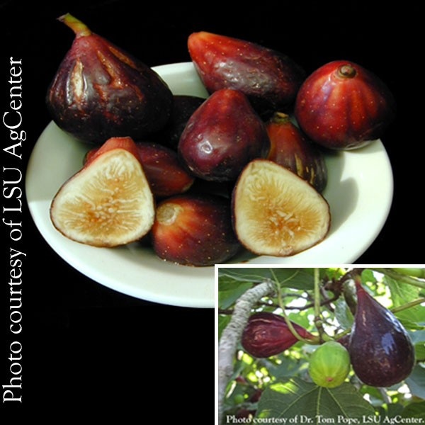 Fig 'LSU Purple' (Ficus carica)