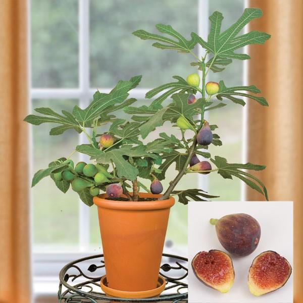 Fig 'Petite Negra' (Ficus carica)