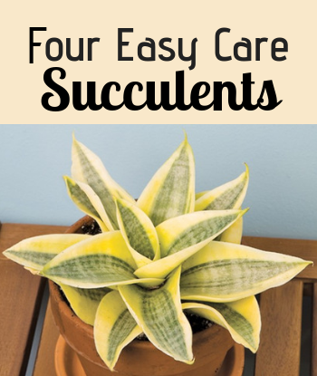 Four Easy Care Succulents