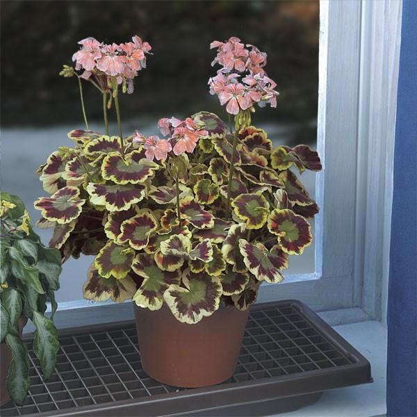 Geranium 'Mrs. Cox' (Pelargonium hybrid)