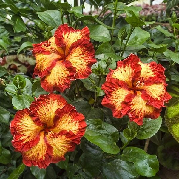 Hibiscus 'Chad' (Hibiscus rosa-sinensis hybrid)