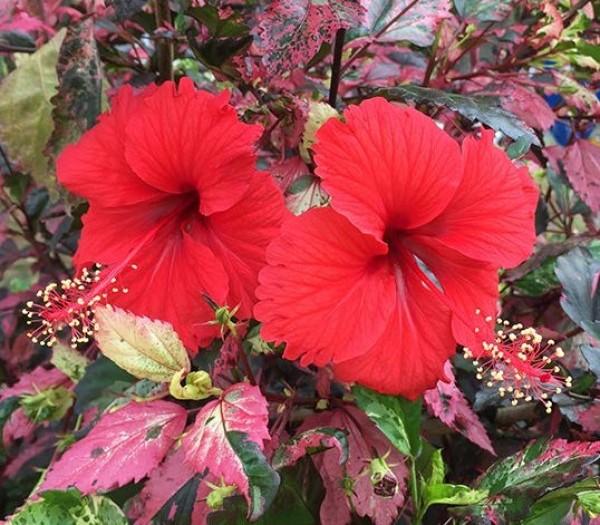 Hibiscus 'Cooperii' (Hibiscus rosa-sinensis cooperii)