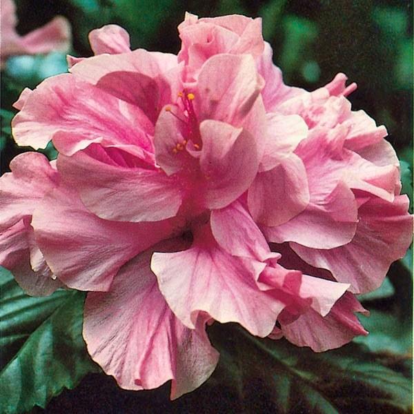 Hibiscus 'Kona' (Hibiscus rosa-sinensis hybrid)