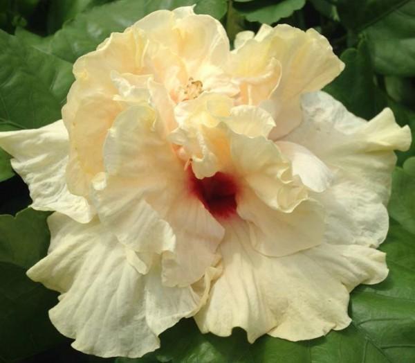 Hibiscus 'Rising Moon' (Hibiscus rosa-sinensis hybrid)