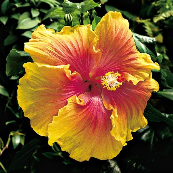 Hibiscus 'The Path' (Hibiscus sinensis)