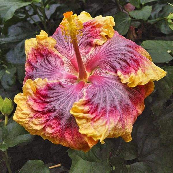 Hibiscus 'Voila' p.p. (Hibiscus rosa-sinensis hybrid)