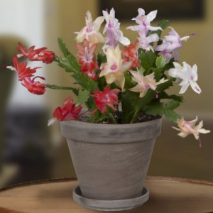 Holiday Cheer Christmas Cactus Collection