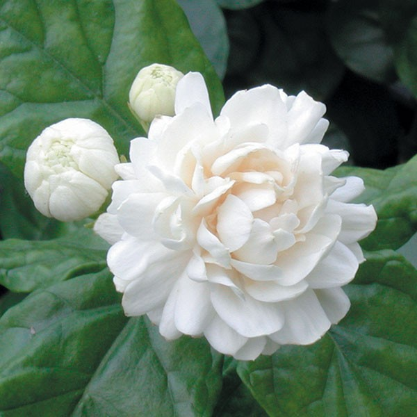 Jasmine 'Grand Duke of Tuscany' (Jasminum sambac)