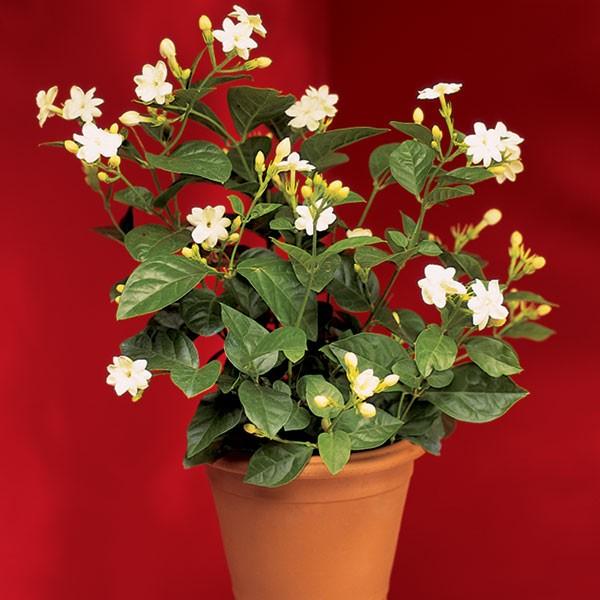 Jasmine 'Maid of Orleans' (Jasminum sambac)