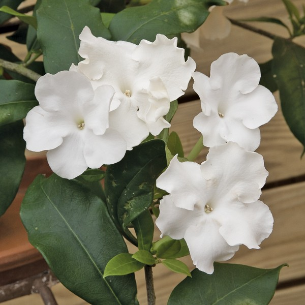 Lady of the Night (Brunfelsia gigantea)