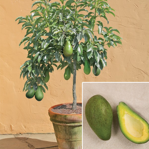 Avocado 'Day' (Persea americana)